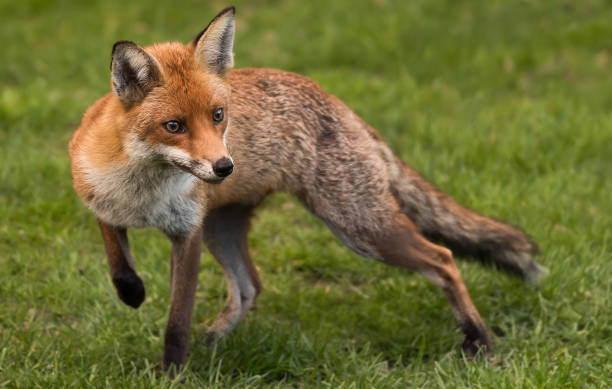 The Red Fox. stock photo