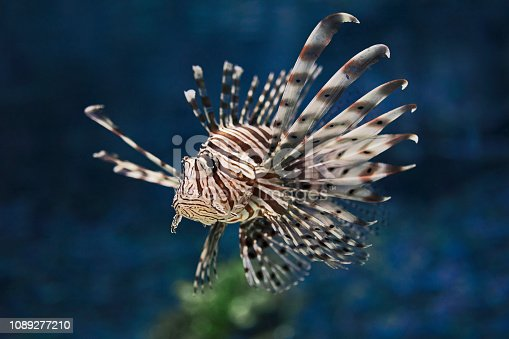 The red lionfish (Pterois volitans) in natural habitat