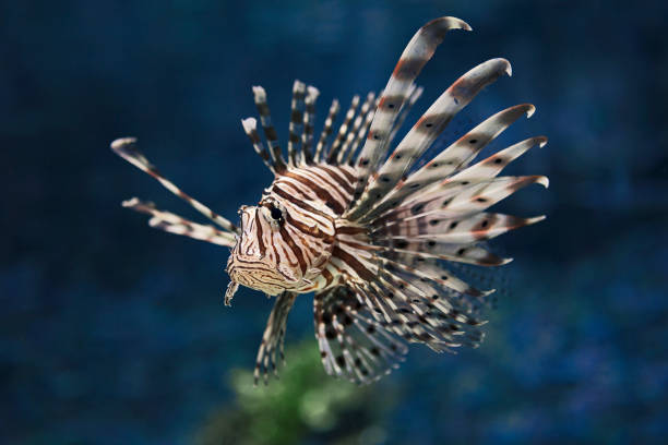 the red lionfish (pterois volitans) - lionfish stock photos and pictures