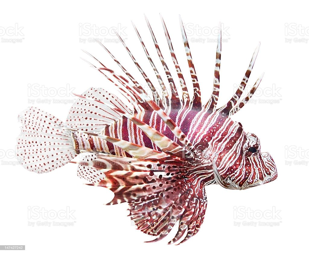 The Red Lionfish (Pterois volitans). stock photo