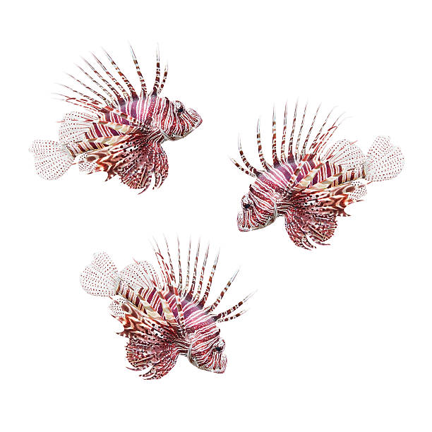 the red lionfish (pterois volitans). - lionfish stock photos and pictures