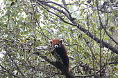 The red panda in Chengdu