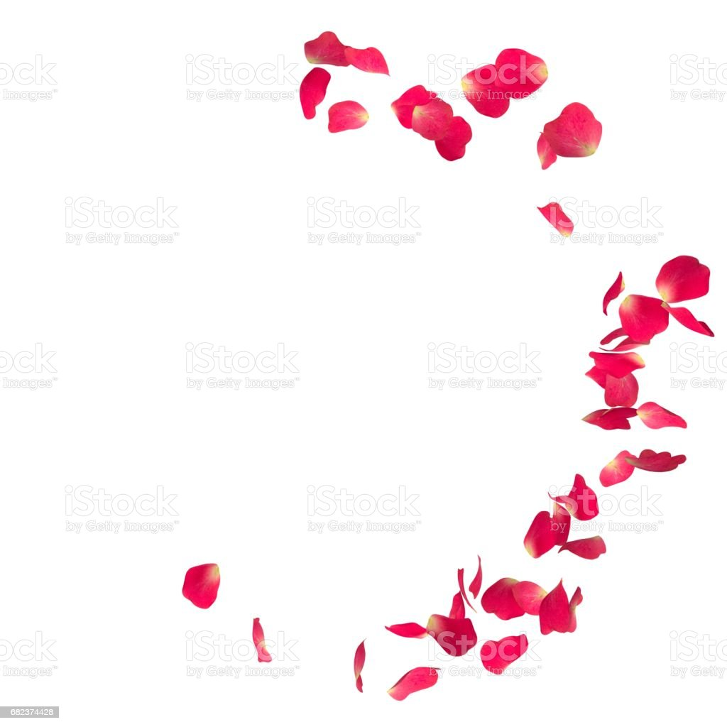 The red rose petals are flying in a circle on isolated white background zbiór zdjęć royalty-free