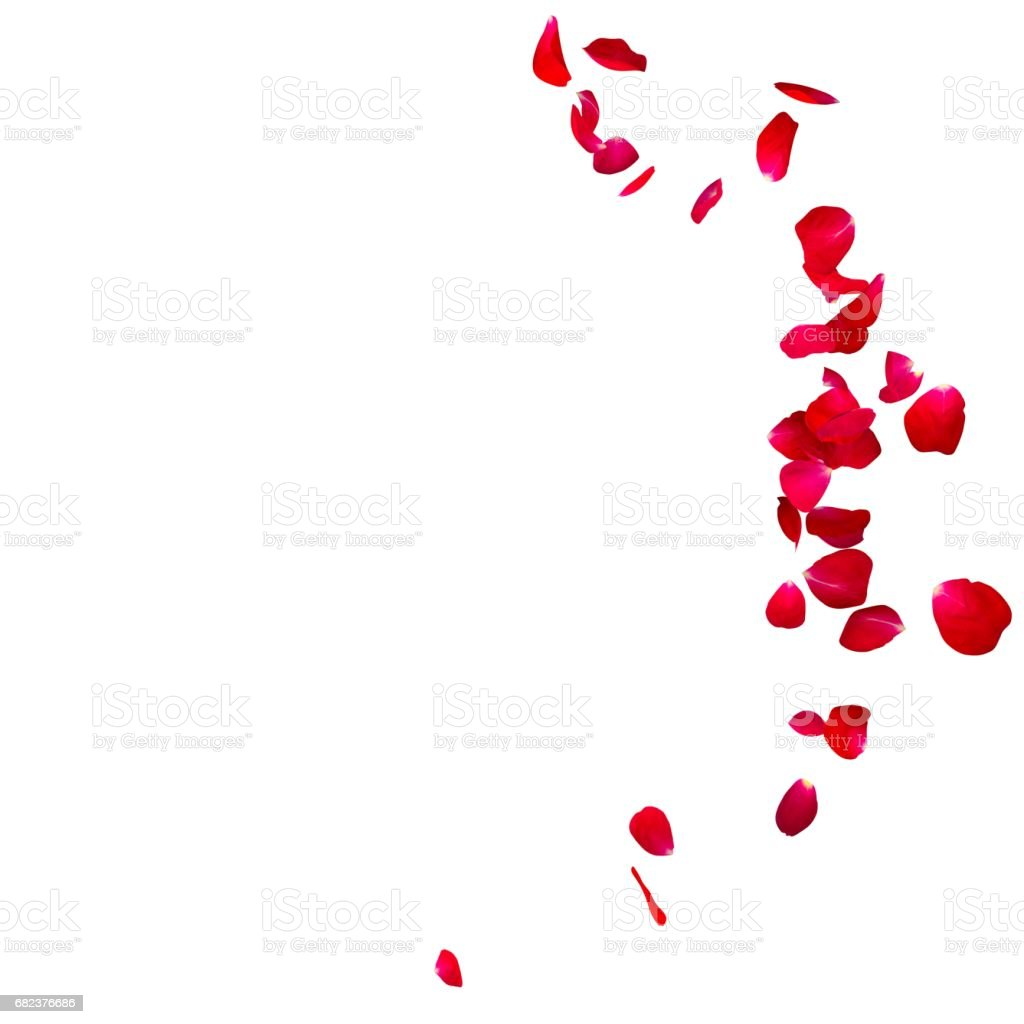 The red rose petals are flying in a circle on isolated white background royalty free stockfoto