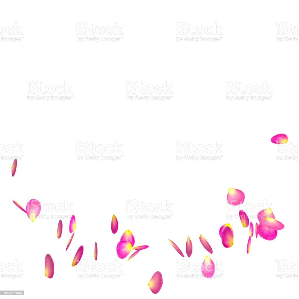The red rose petals are flying in a circle on isolated white background royalty-free stock photo