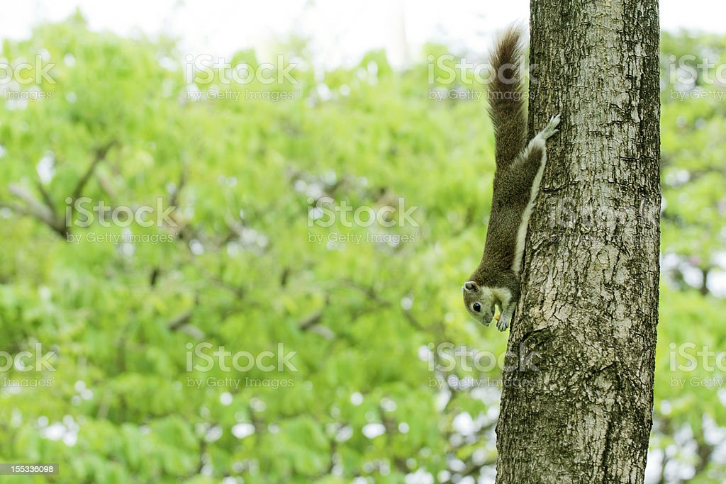 The red squirrel eating snack on a tree royalty-free stock photo