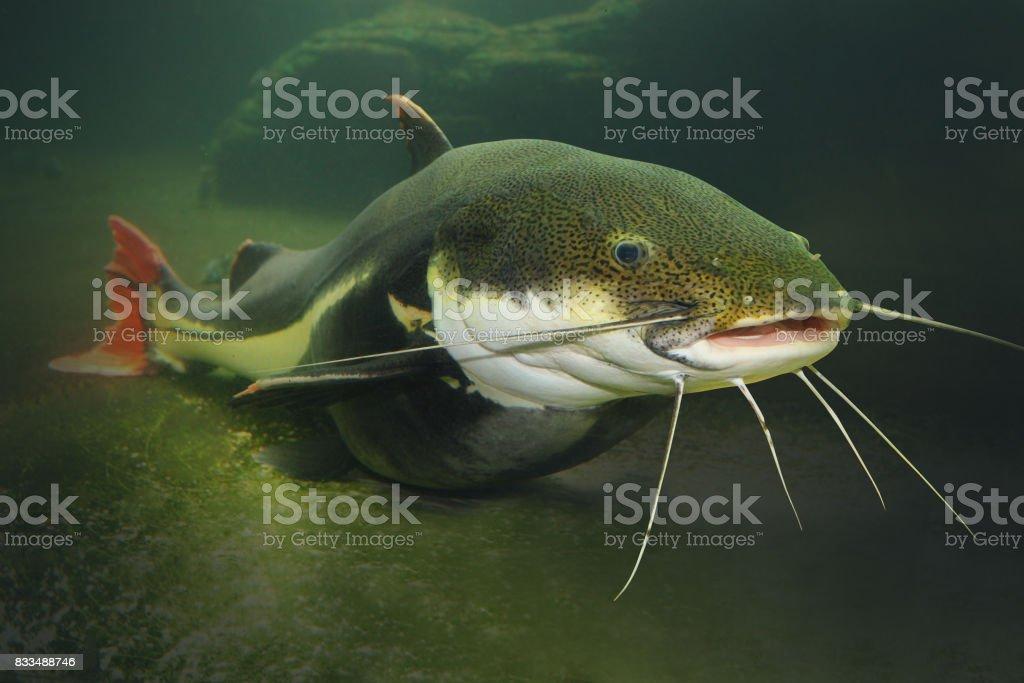 O bagre de cauda vermelha - Phractocephalus hemiliopterus. - foto de acervo