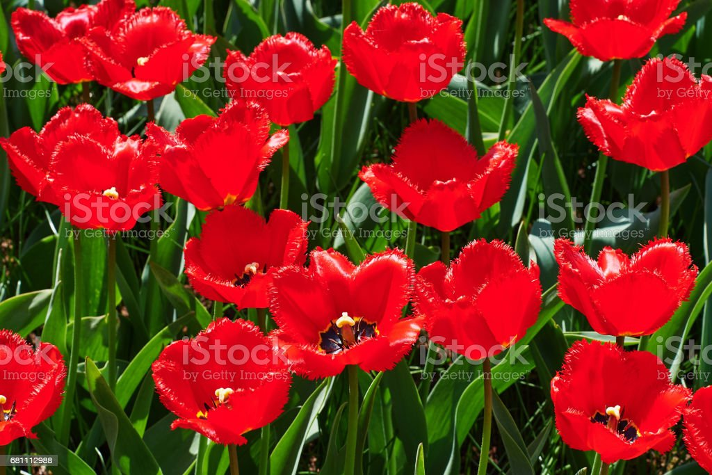 The red tulip field royalty-free stock photo