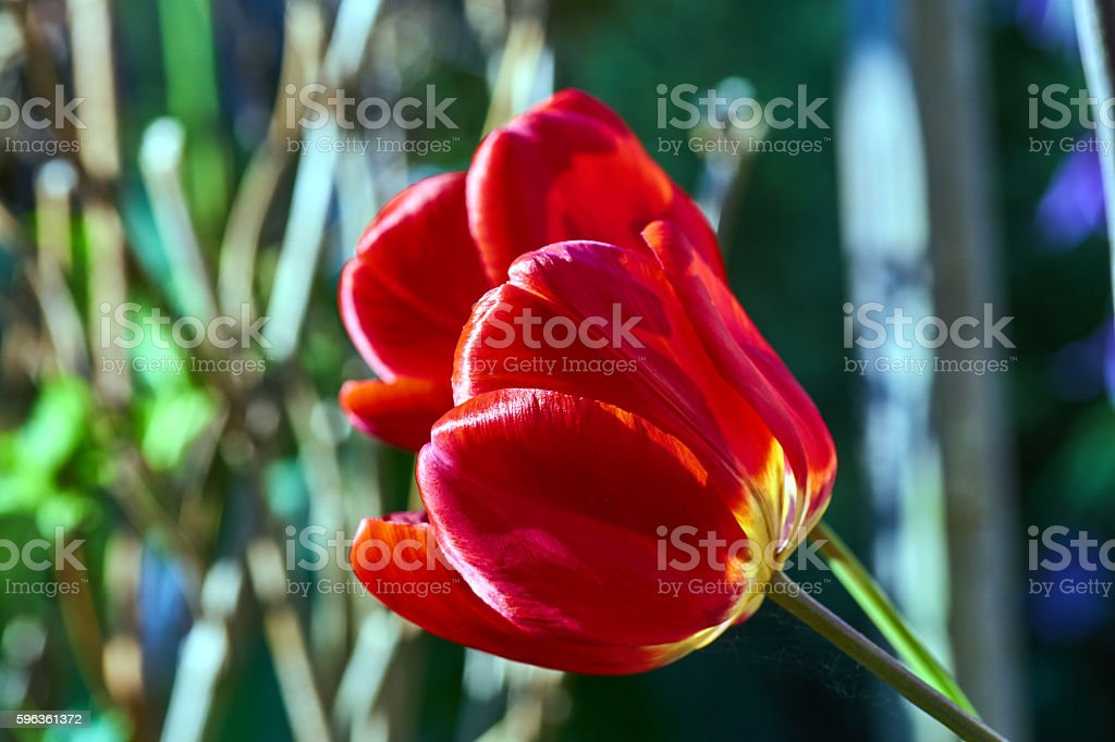 The red tulip flower in spring royalty-free stock photo