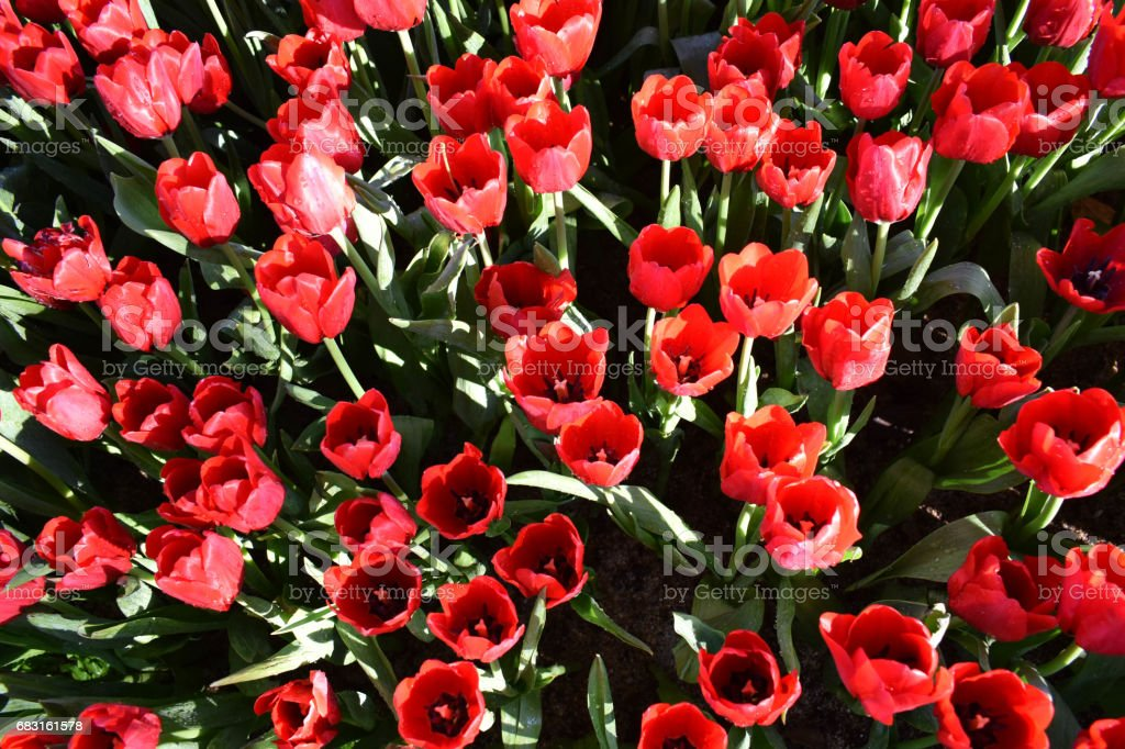 The red Tulip royalty-free 스톡 사진