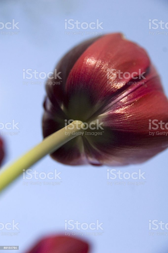 The Red Tulip royalty-free stock photo