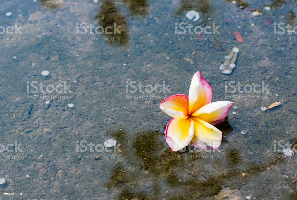 the red yellow and white plumeria flower is drop in water with plumeria tree shadow foto stock royalty-free
