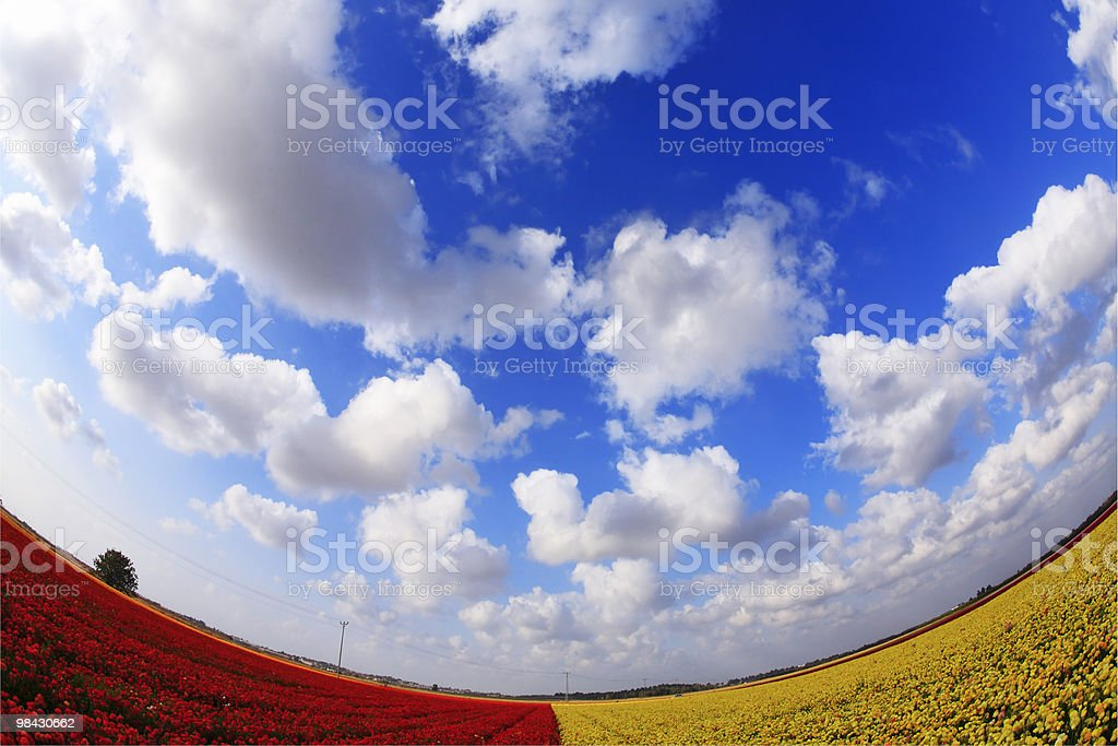 The red - yellow flower field royalty-free stock photo