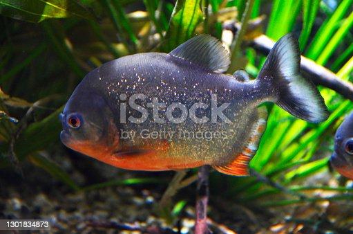 istock The red-bellied piranha, Pygocentrus altus, is a dangerous fish in water with green aquatic vegetation. Swimming predatory animal in the aquarium. 1301834873