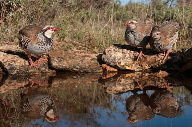 la pata roja, alectoris rufa, familia agua potable - perdiz roja fotografías e imágenes de stock