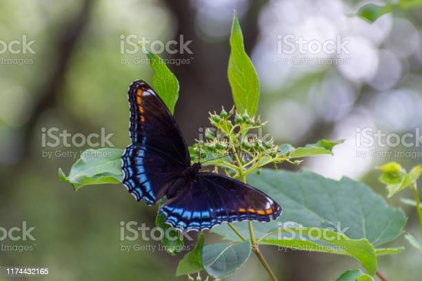 The redspotted purple butterfly in ontario canada close up showing picture id1174432165?b=1&k=6&m=1174432165&s=612x612&h=yvpnnhot 76 beqvyitdqs5 gnekvuvshhkedxw wbo=