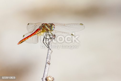 The Red-veined Dropwing, Trithemis arteriosa