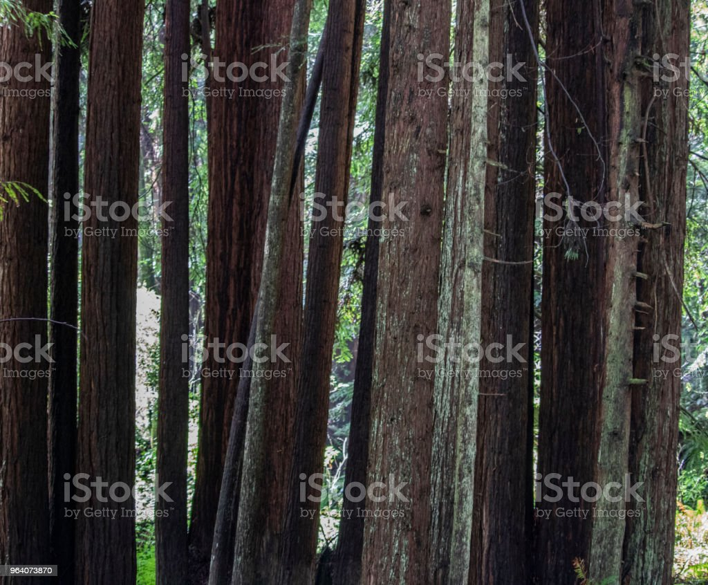 The Redwood Forest - Royalty-free Backgrounds Stock Photo