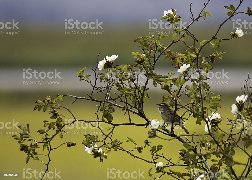 The Reed Warbler Singing In A Tree stock photo
