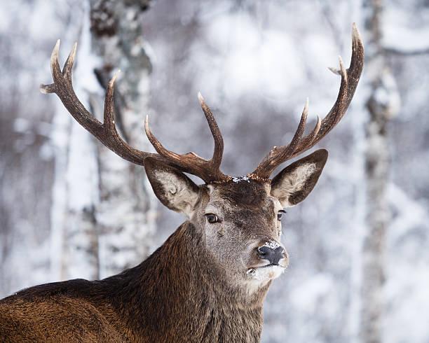 the reindeer (rangifur tarandus) in its natural habitat - rendier stockfoto's en -beelden