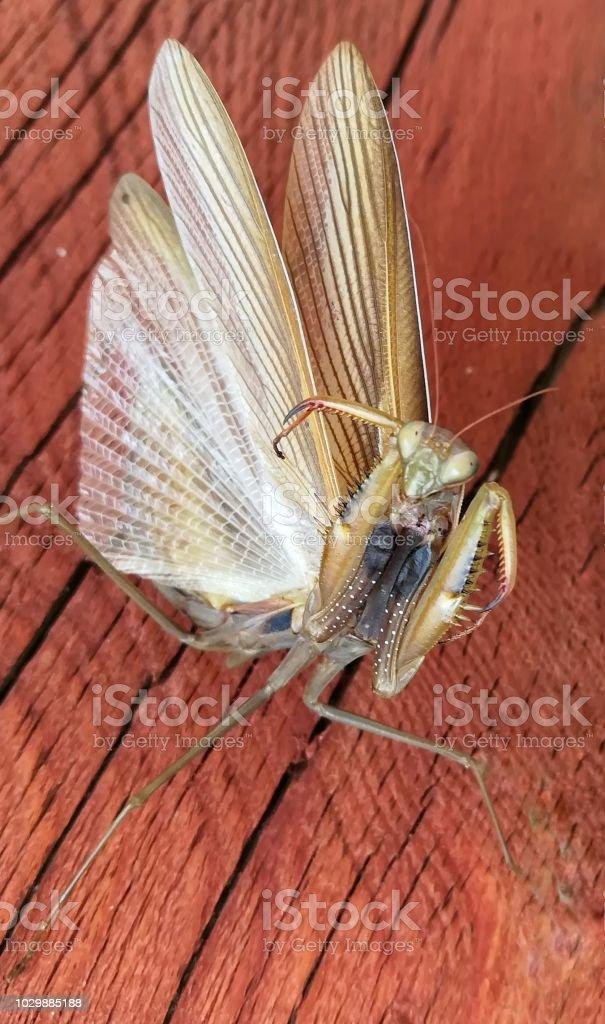 The religious mantis - foto stock