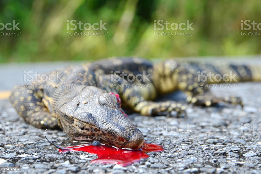 The remains of water monitor lizard (varanus salvator) stock photo
