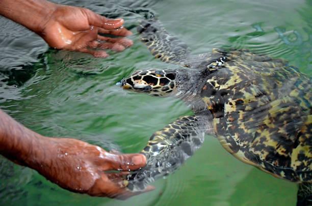 die gerettete schildkröte hält seine flossen mit menschlichen händen. meeresschildkröten erhaltung forschungsprojekt in bentota, sri lanka. tiere, menschen zu vertrauen zu retten - rettungsinsel stock-fotos und bilder
