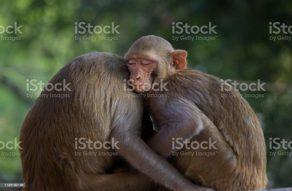 The Rhesus macaque Monkey stock photo