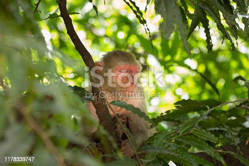 The Rhesus Macaque Monkey sitting under the tree and looking away