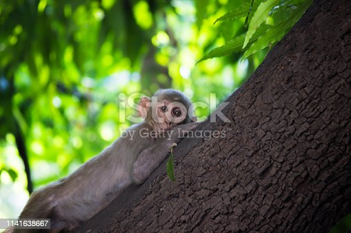 The Rhesus macaque Monkey sitting and looking away in the garden very curiously