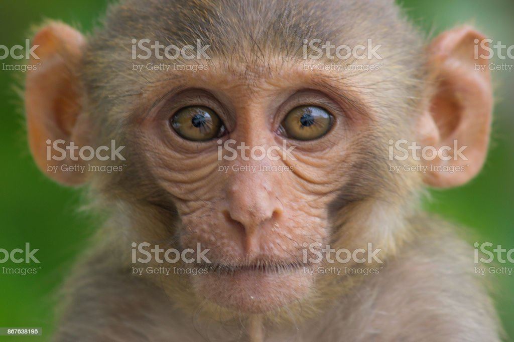 The Rhesus macaque stock photo
