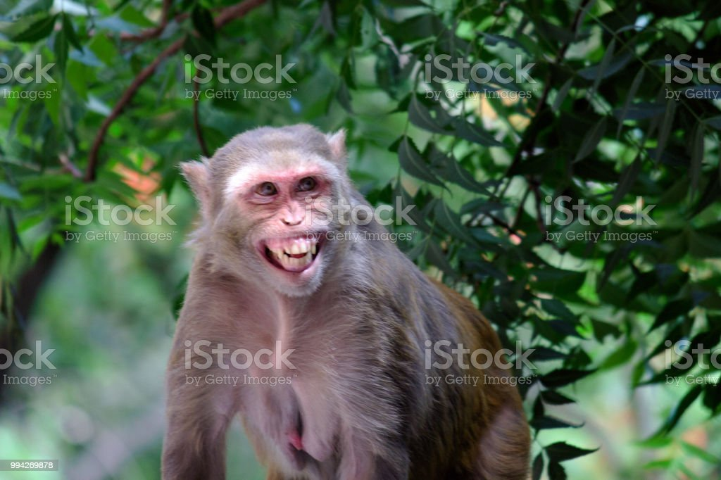 The Rhesus Macaque stock photo
