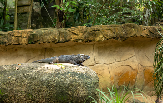 The Rhinoceros Iguana Cyclura Cornuta Resting On A Rock Stock ...
