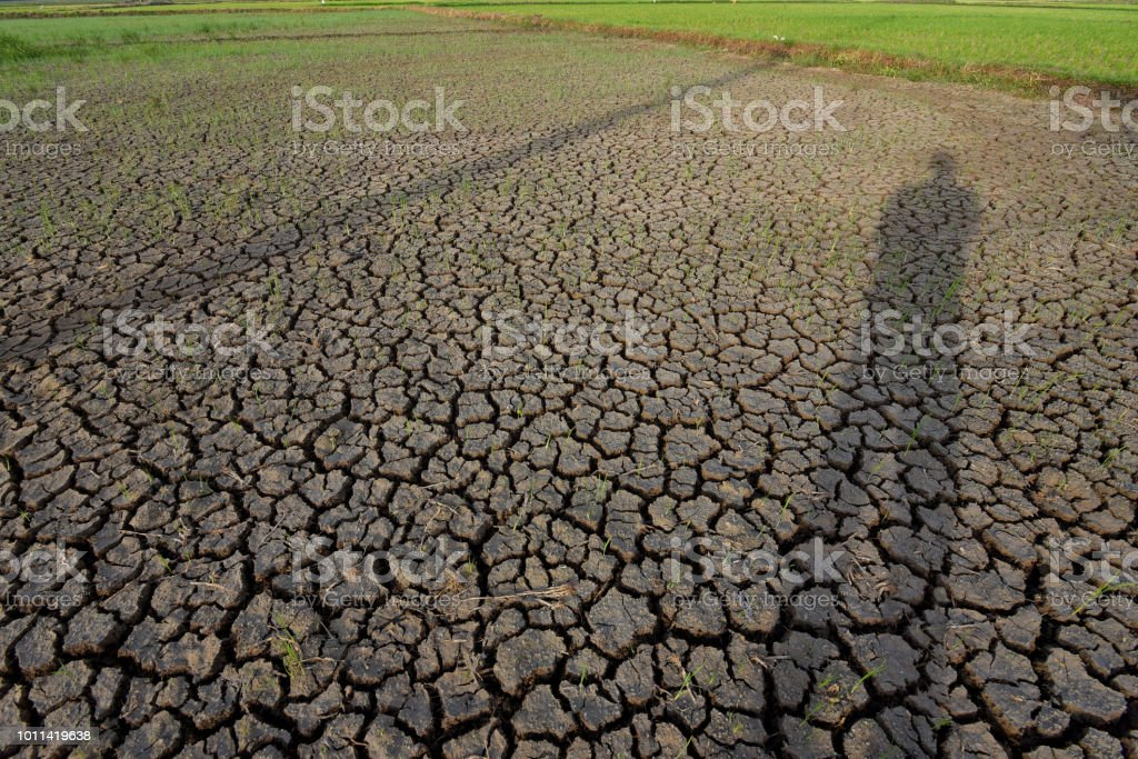 A view of the condition of the rice field after the drought.