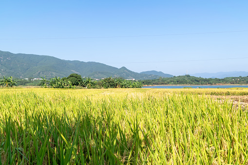 Autumn is coming. The golden rice under the blue sky is very beautiful