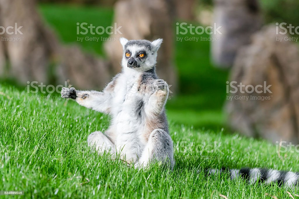The ring-tailed lemur (catta) is doing yoga under the sun. stock photo