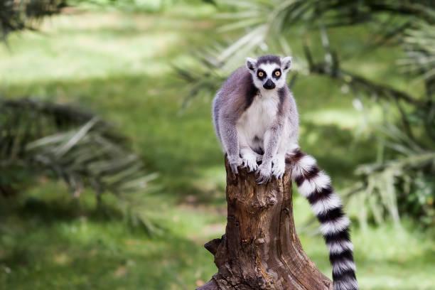 den ringstjärtade lemuren - lemur bildbanksfoton och bilder