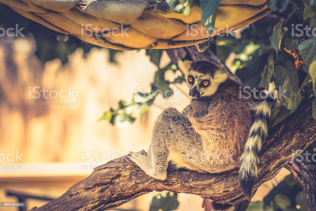 The ring-tailed lemur (Lemur catta) stock photo