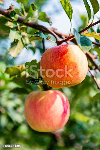 The ripe apples will be harvested soon.