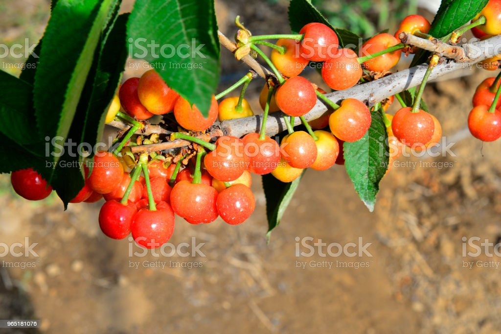 The ripe cherries are on the tree zbiór zdjęć royalty-free