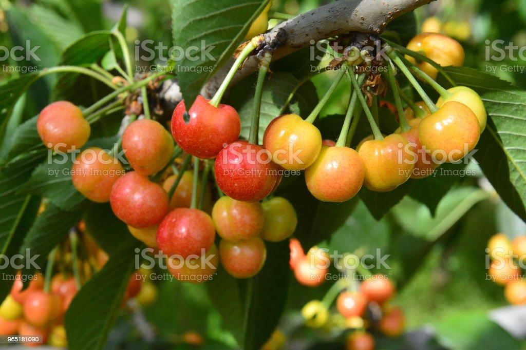 The ripe cherries are on the tree zbiór zdjęć royalty-free