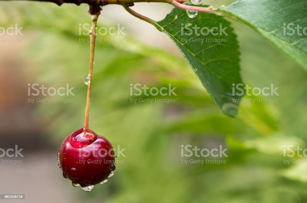The ripe cherry on a branch after the rain stock photo