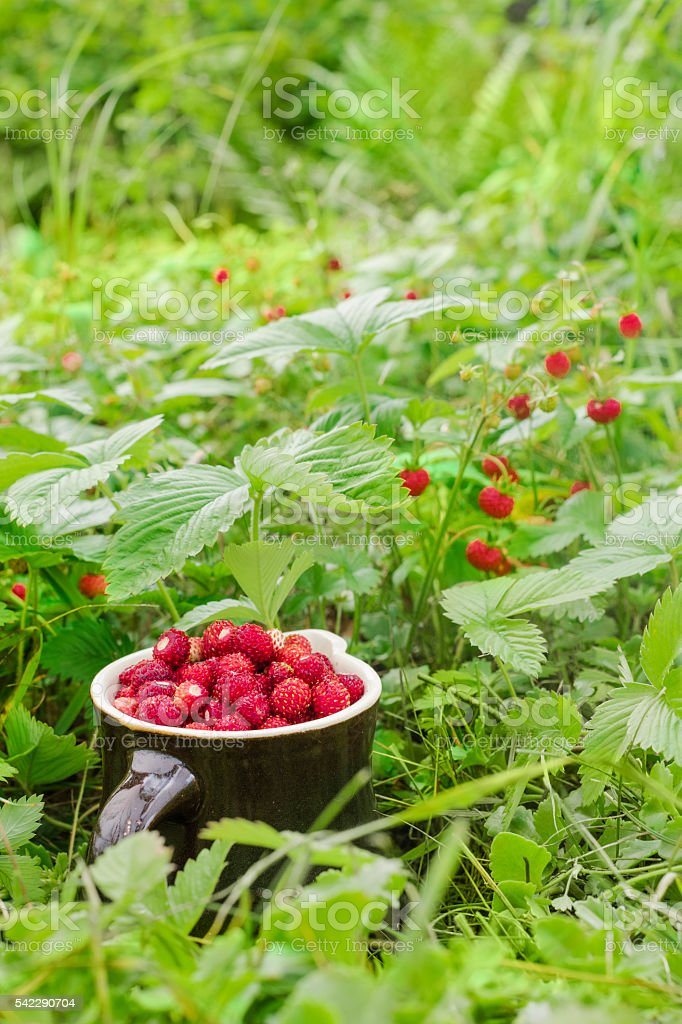 The ripe wild strawberries growing in the natural environment. – zdjęcie