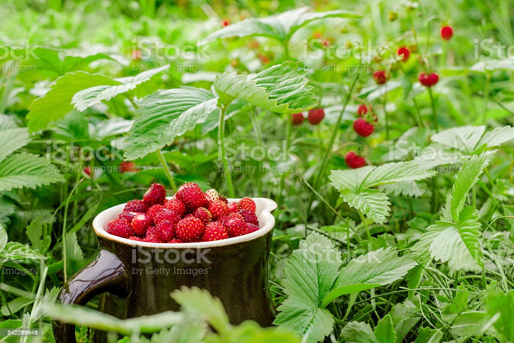 The ripe wild strawberries growing on the grass – zdjęcie