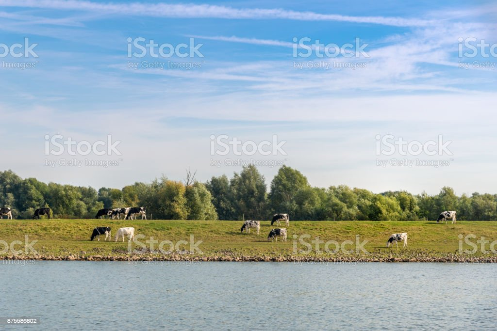 The river Rhine near Heteren, with cows grazing on the other side. the Netherlands.This image is GPS tagged stock photo