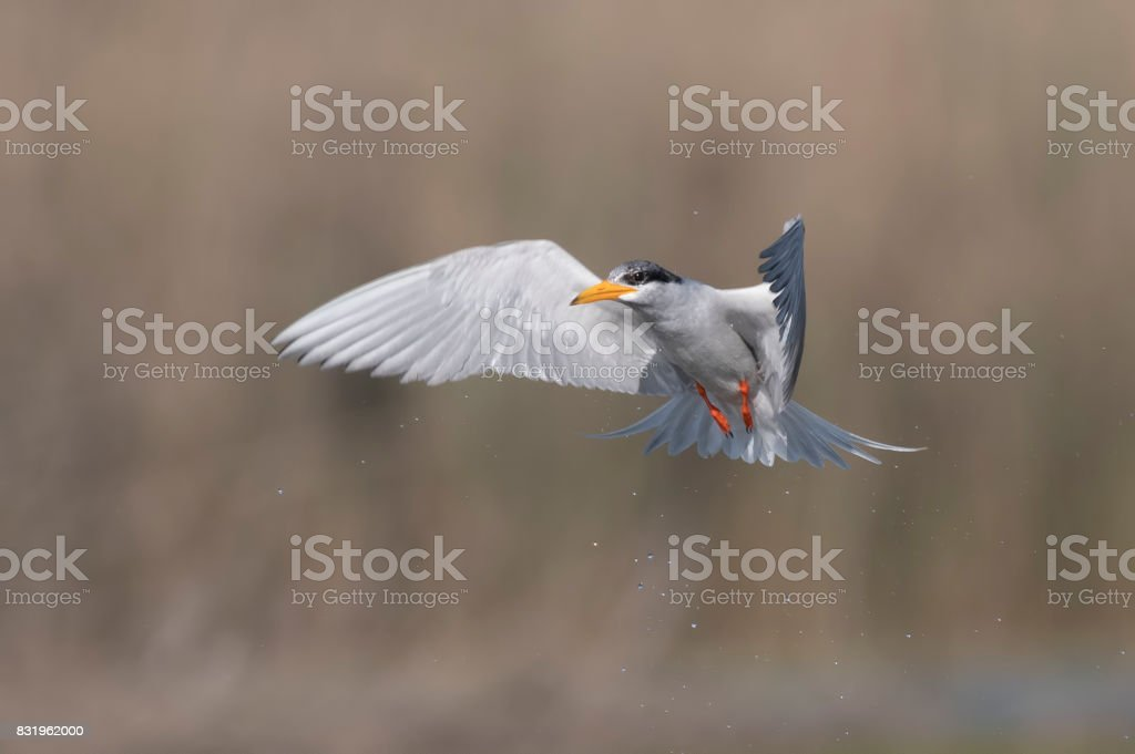 The River Tern after dive stock photo