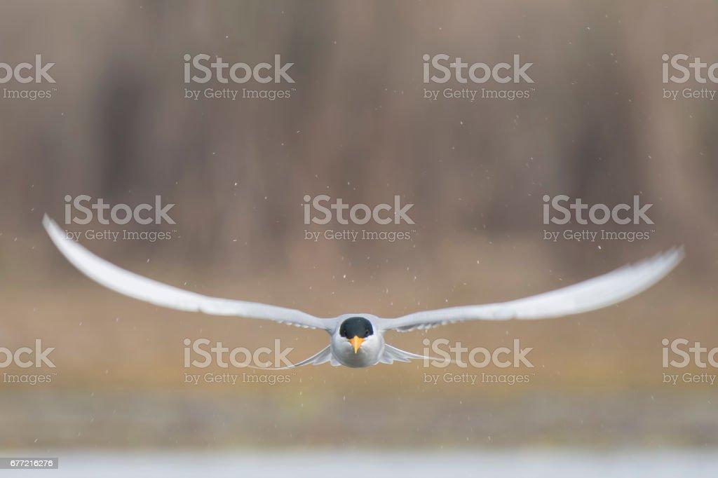 The river tern - foto de acervo