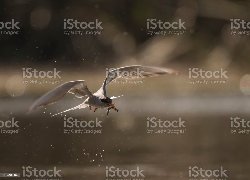 The river tern with fish stock photo