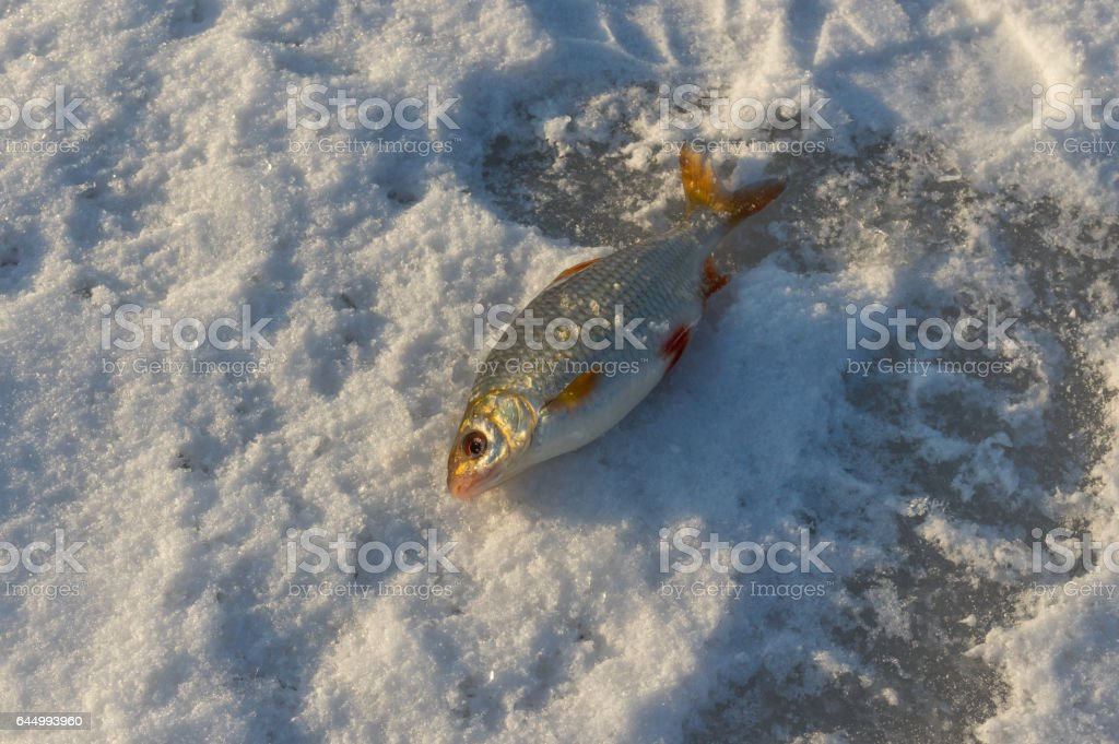 The roach - fat catch of winter fishing stock photo