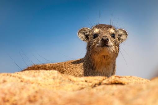 The rock hyrax (Procavia capensis), also called rock badger and Cape hyrax, lying on the top of a rock and peeping over the edge in the Serengeti in Tanzania.
